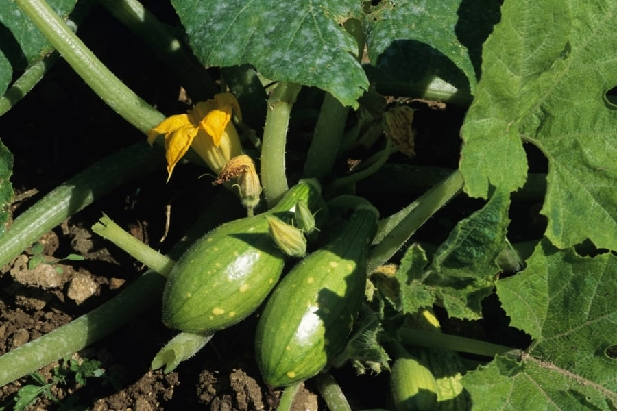 Can you over water Squash plants