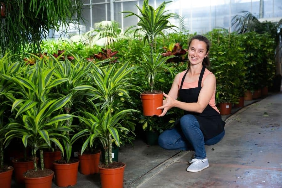 save a dying Dracaena