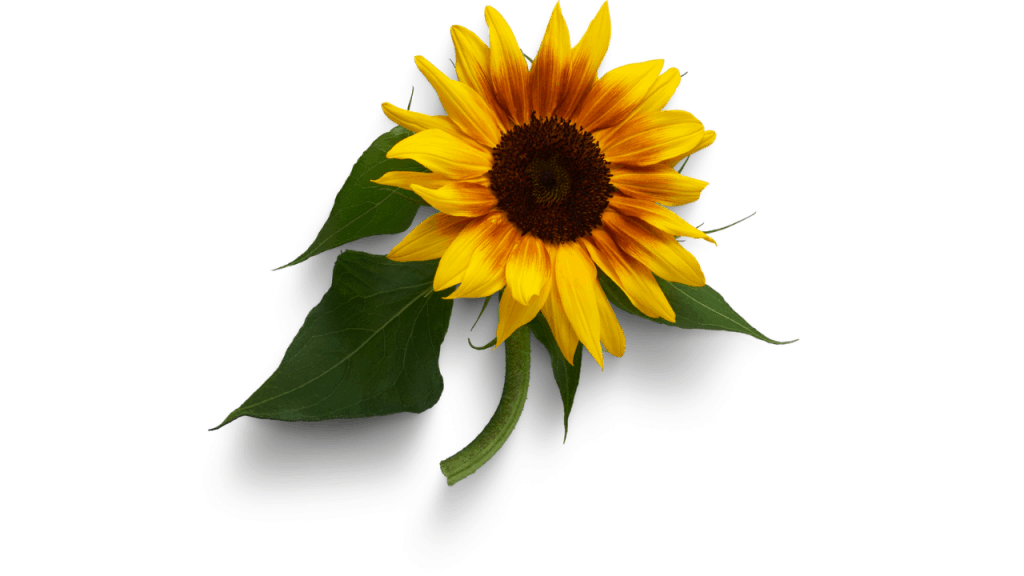 How To Keep Sunflowers Alive