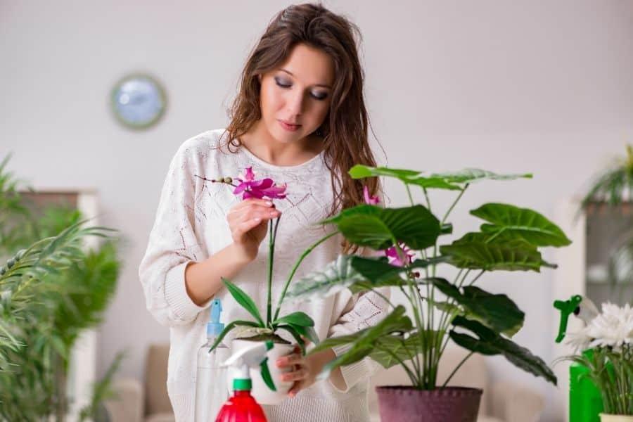 How do you plant a Dracaena