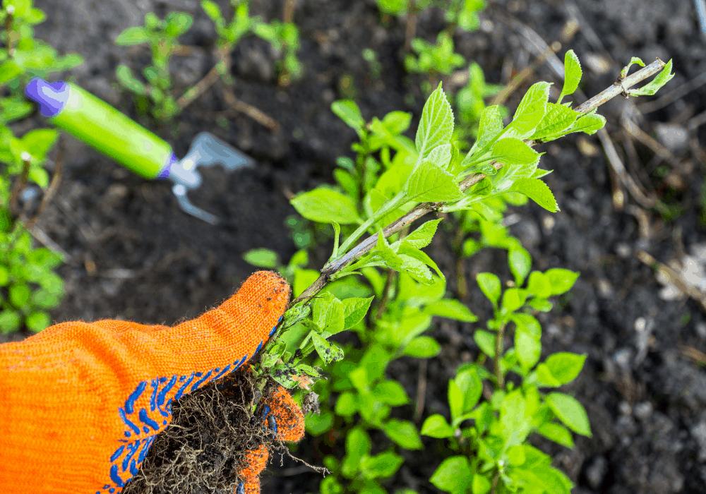 How to Plant Hydrangea Plant