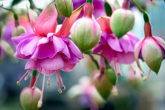 How to Revive a Fuchsia Plant