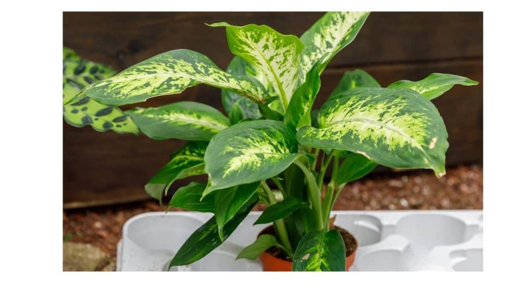 How to care for the Dieffenbachia plant