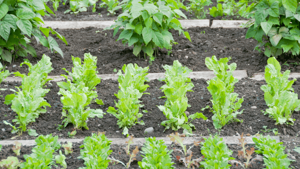How to do Square Foot Gardening Spinach