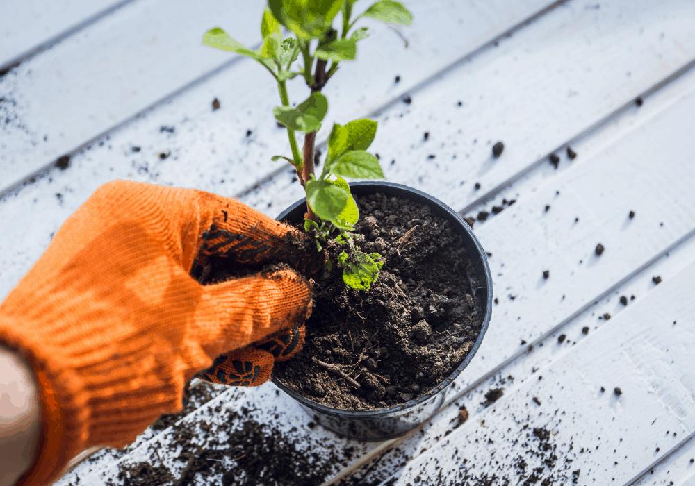 How to grow Hydrangea Plant