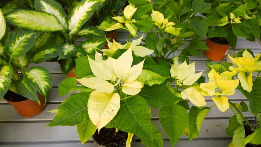 Dieffenbachia Plant growing tips