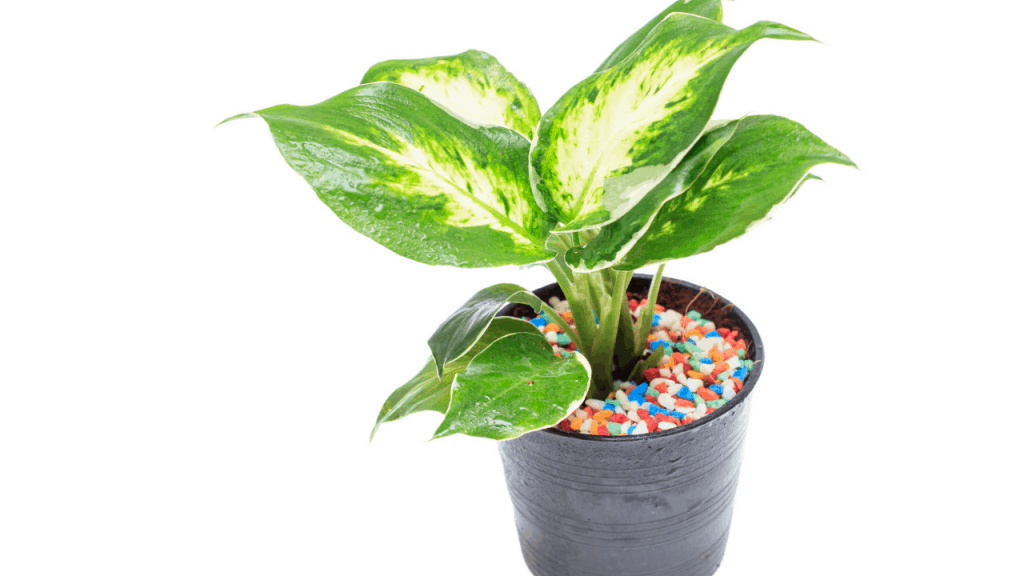 Is Dieffenbachia good for indoors