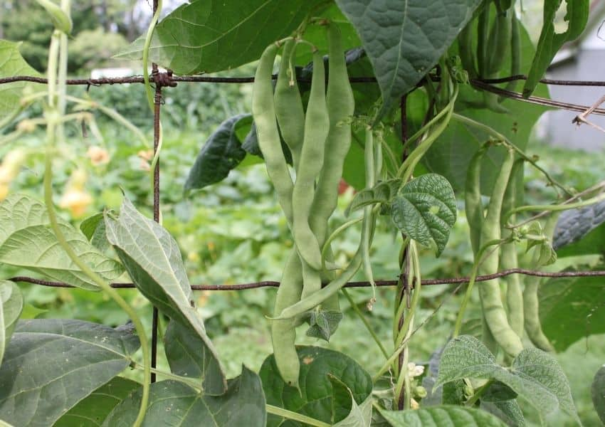 Square foot gardening pole beans