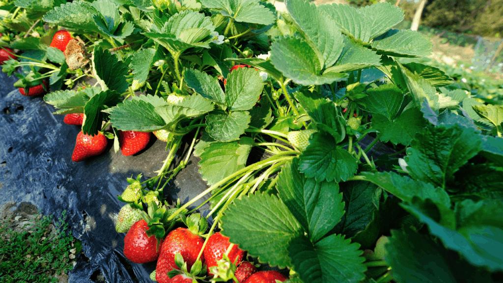Square foot gardening strawberry