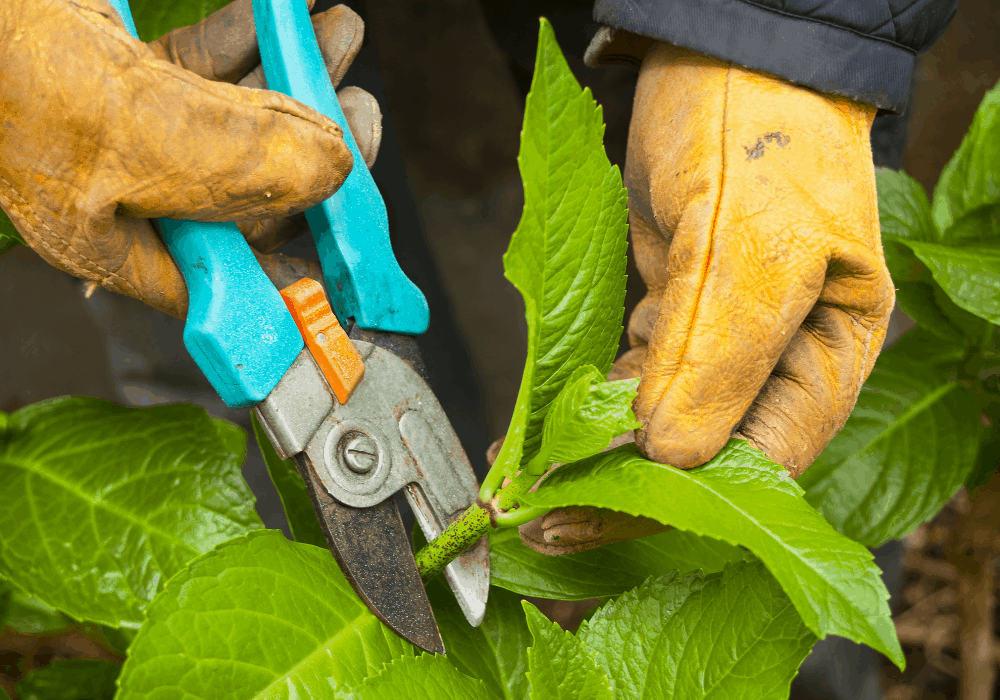 When and how do you prune Hydrangeas