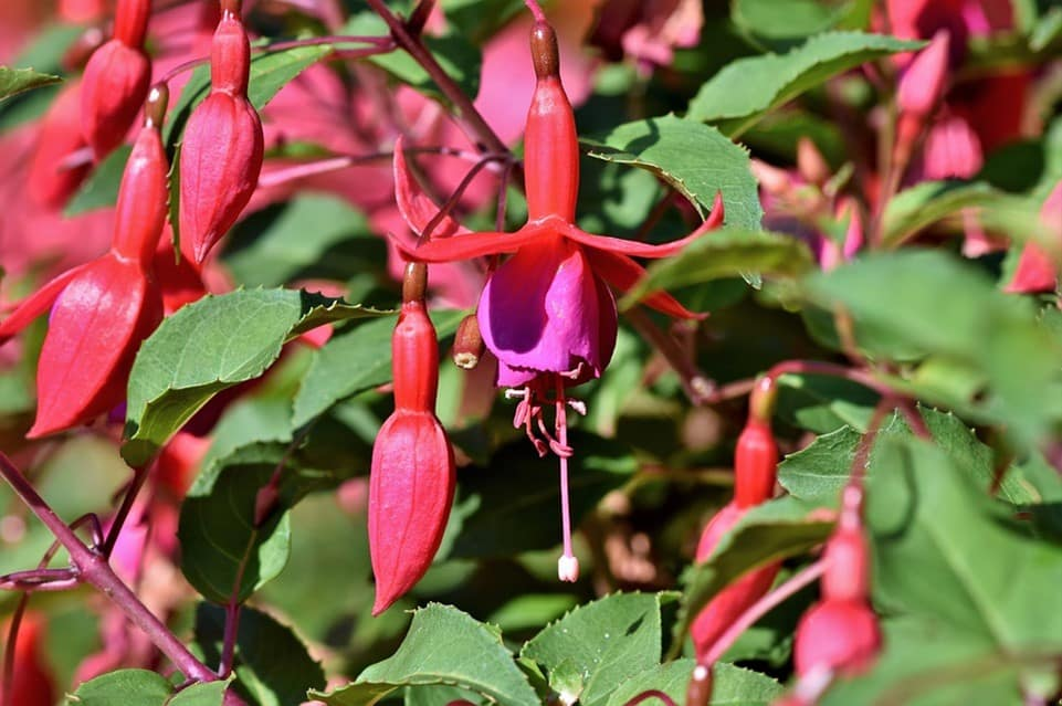 revival of the fuchsias