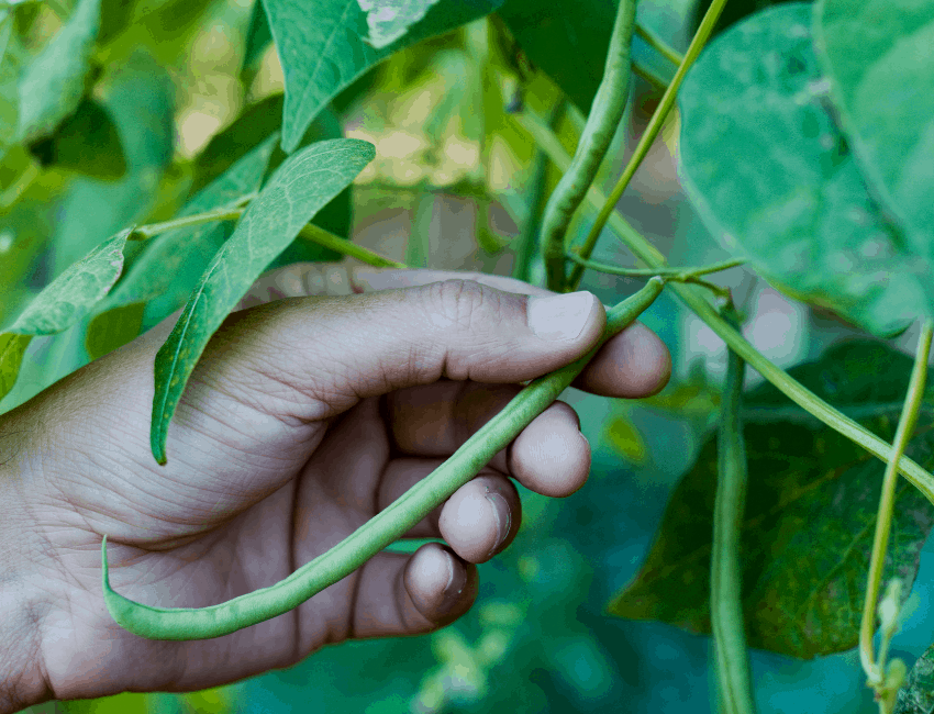 Green bean container Gardening