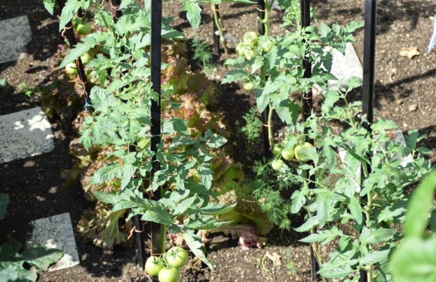 how to do Square Foot Gardening Tomatoes