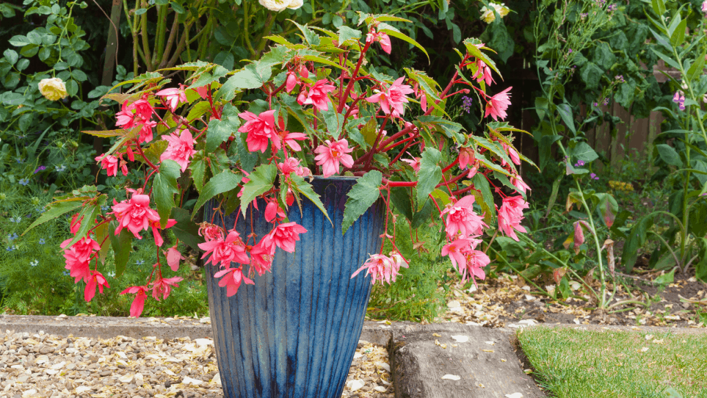 how to save overwatered fuchsia
