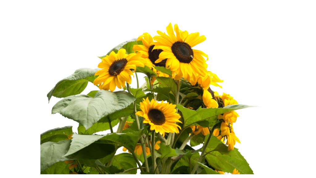 sunflower plant variants