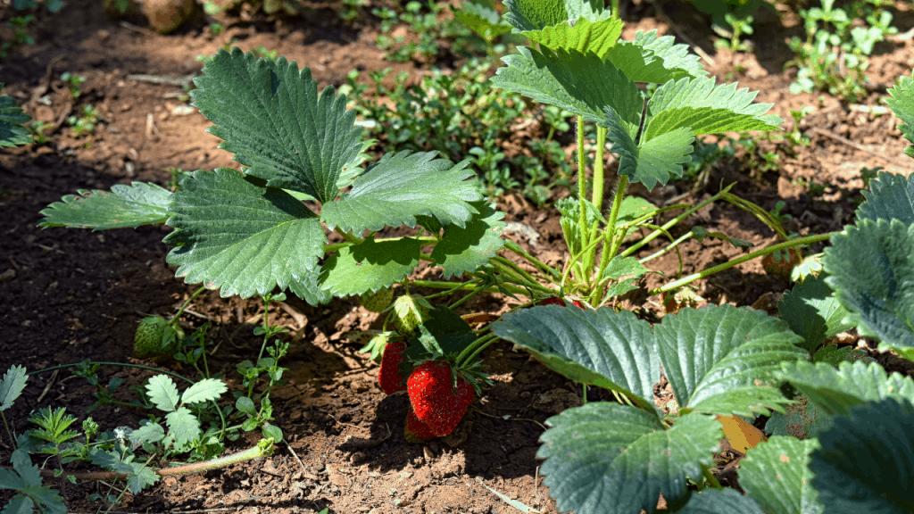 varieties of strawberry to grow