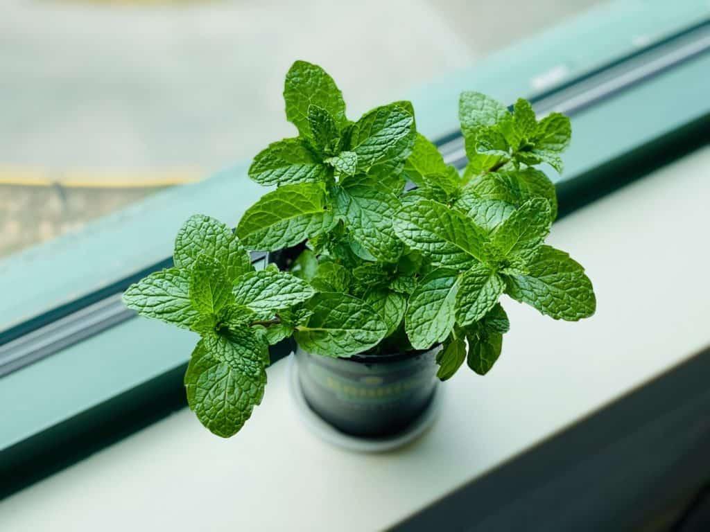 why mint leaves turn black?