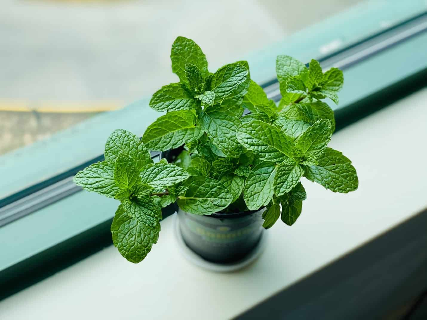 Why Are My Mint Leaves Turning Black