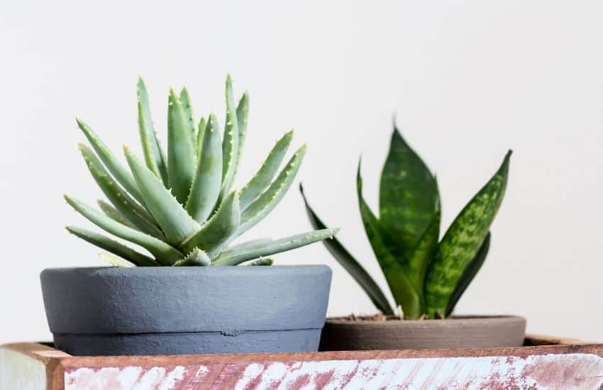 Are Snake Plants Poisonous or Toxic