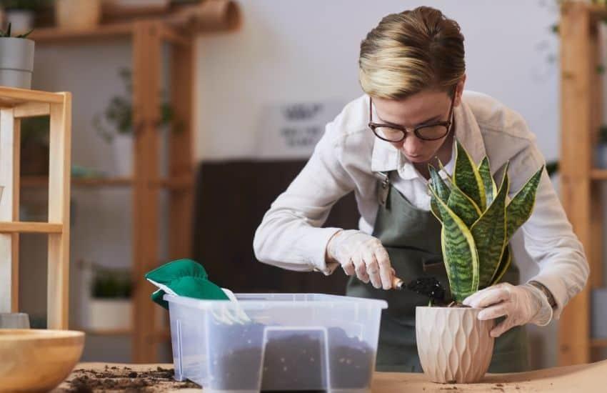 Care Tips For Snake Plants
