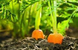 grow carrots