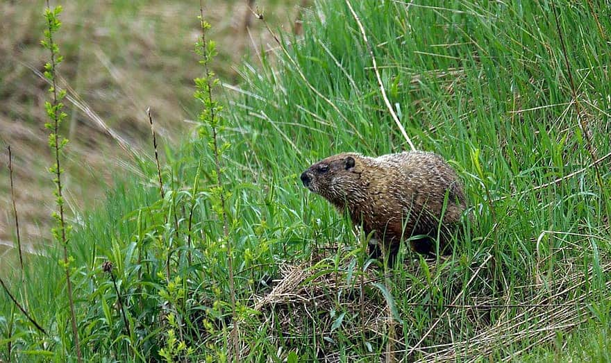 How to remove groundhogs from your garden
