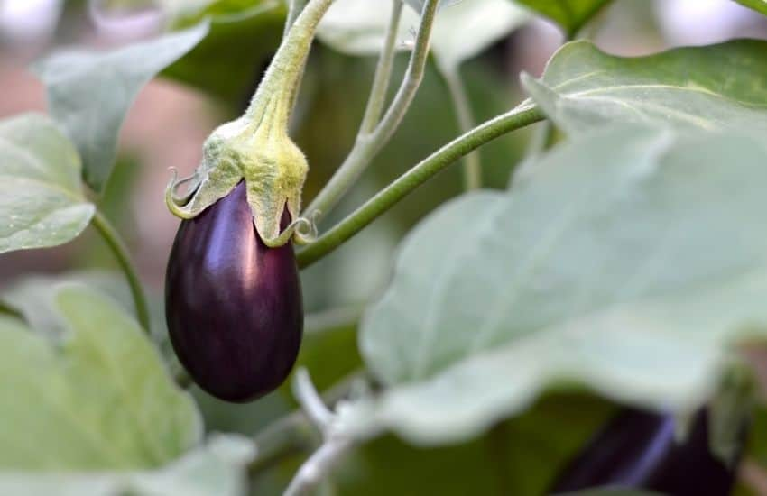 How Often Do Eggplants Need To Be Watered