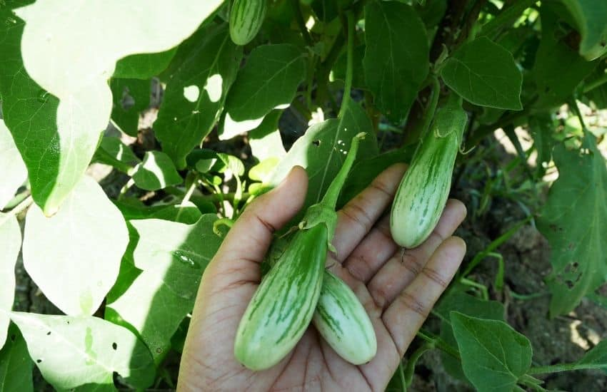 How many eggplants do you get per plant