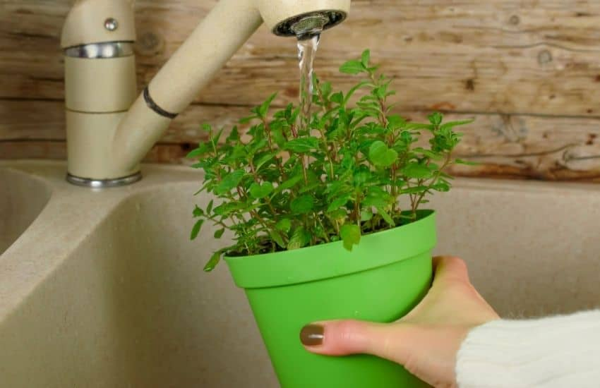 How often should you water mint when planted indoors