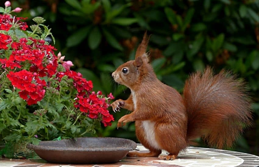 what scent will keep squirrels away