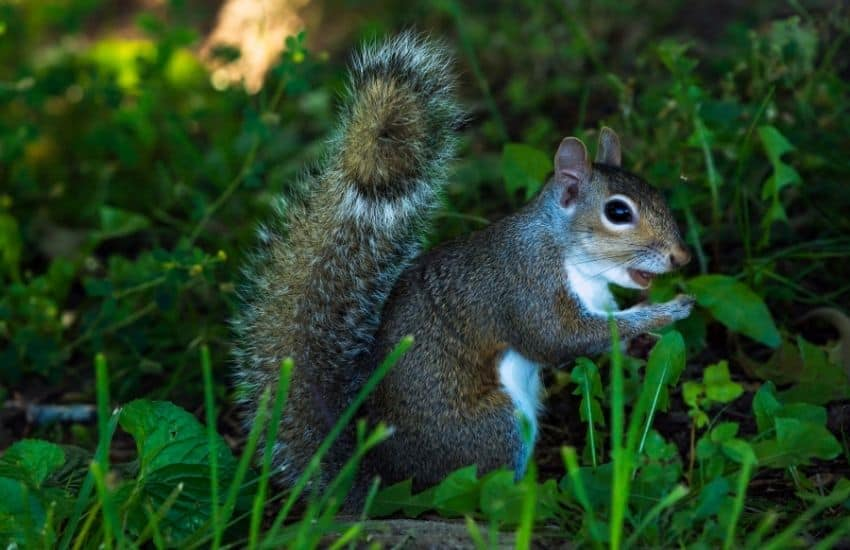 Keep Raccoons and Squirrels Out of the Garden