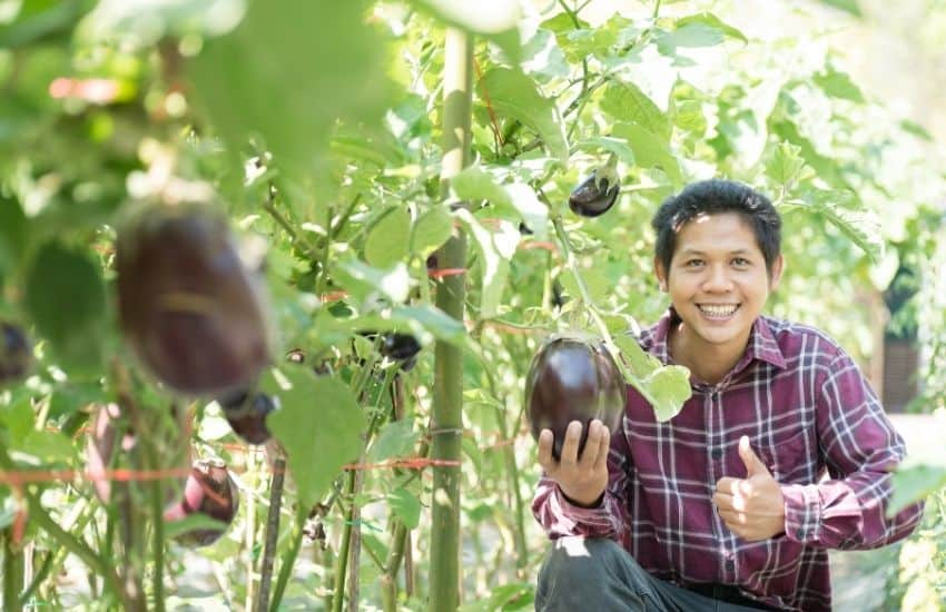When to harvest Japanese eggplant
