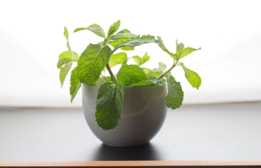 grow mint indoors from seed