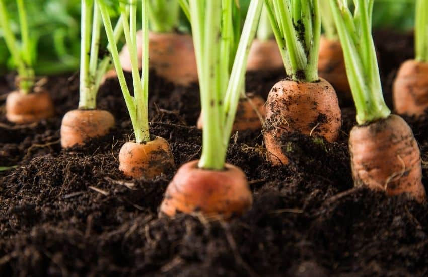 growing carrots tips
