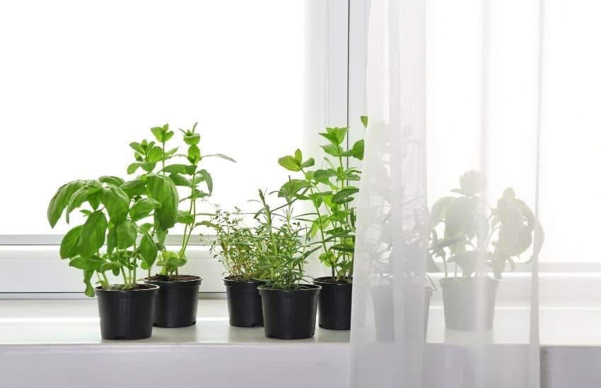 how to grow mint from seed indoors