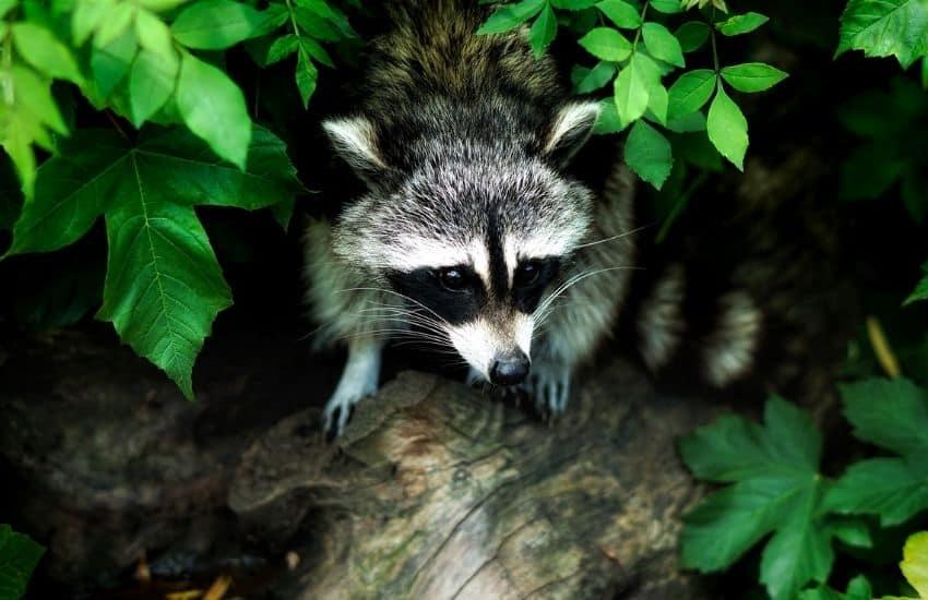 raccoon repellent