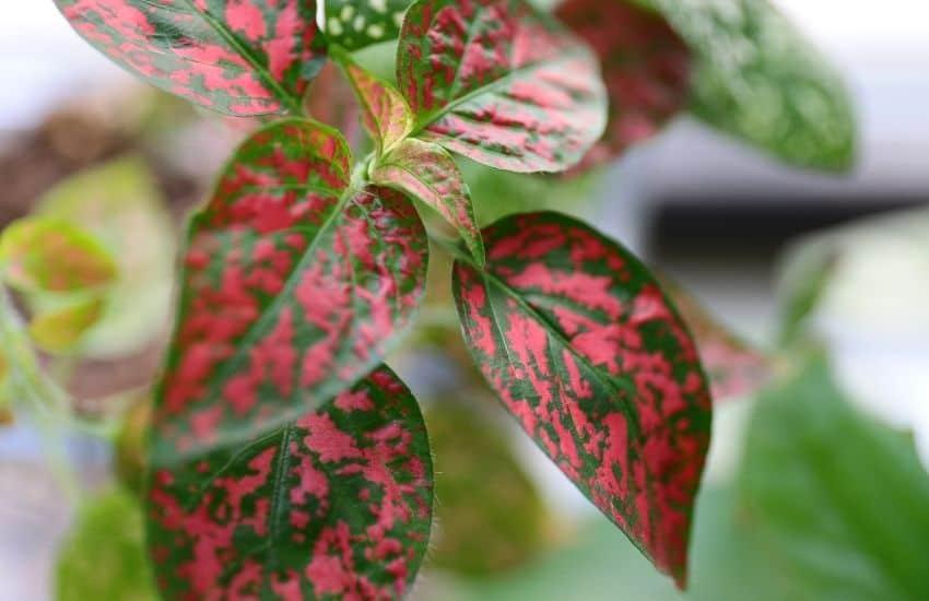 Are Polka dot plants poisonous