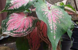grow and care Caladium Plants