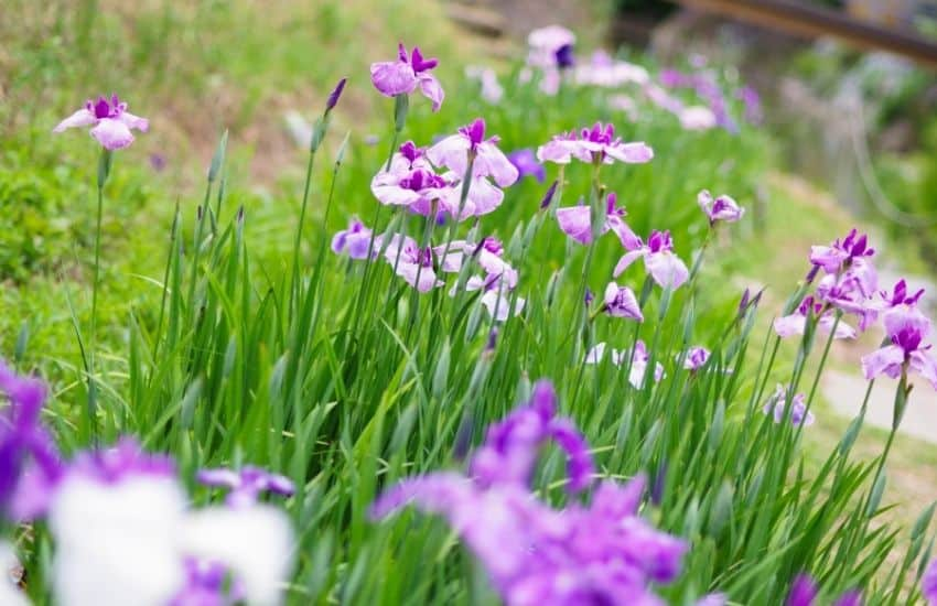 Can I transplant Irises in the spring
