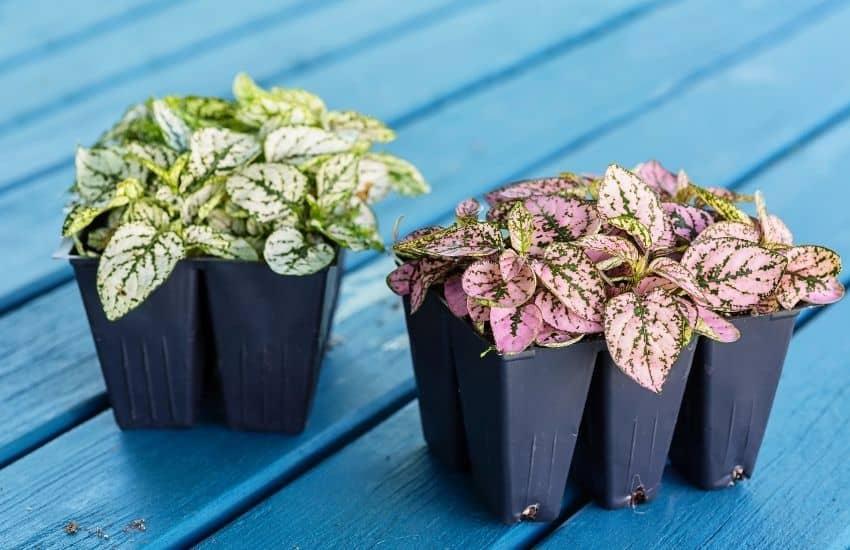 Can you propagate a Polka dot plant