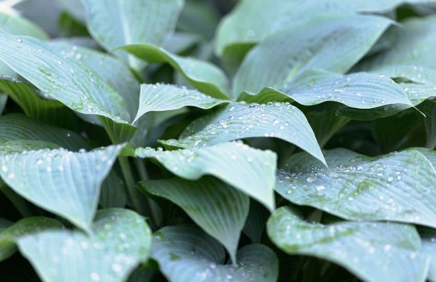 Do Hostas need a lot of water