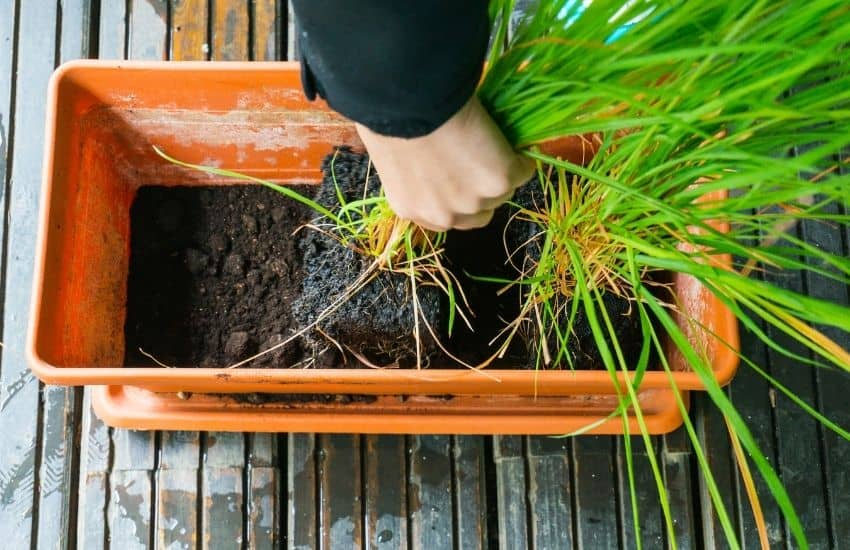 Does Lemongrass grow indoors