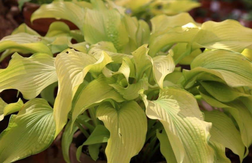 Hosta plant turning brown