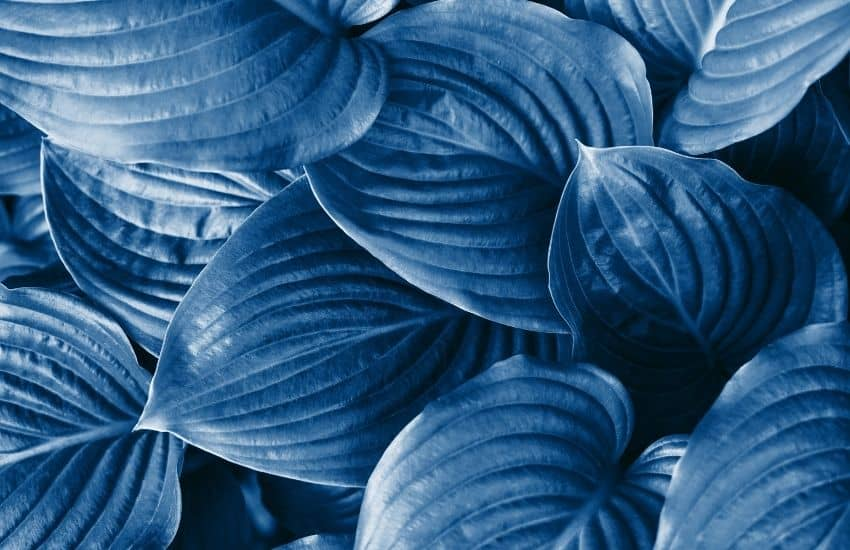 Hostas with blue leaves