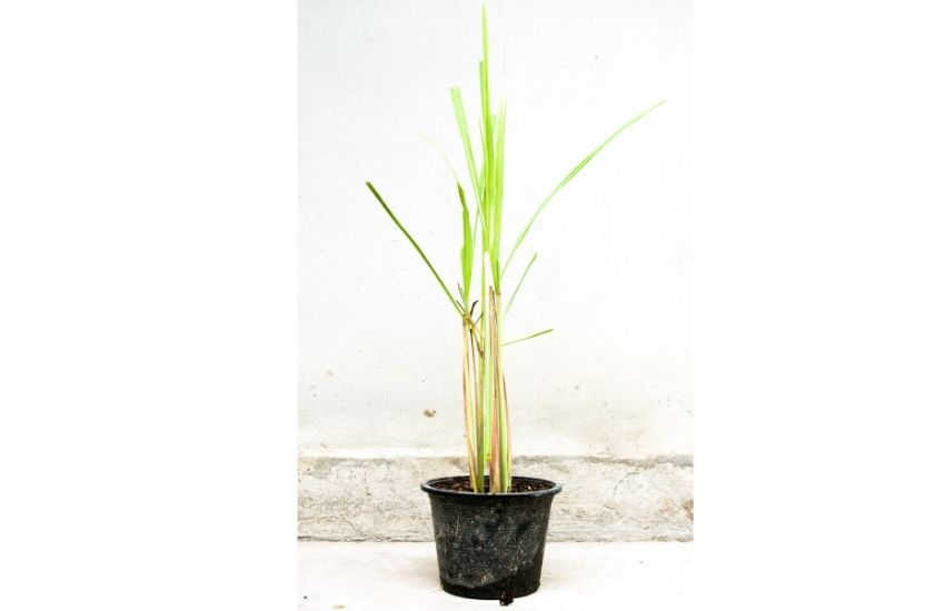 Lemon grass how to grow indoors