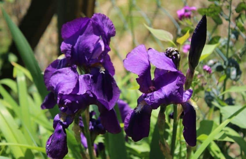 How do you propagate Iris Plants