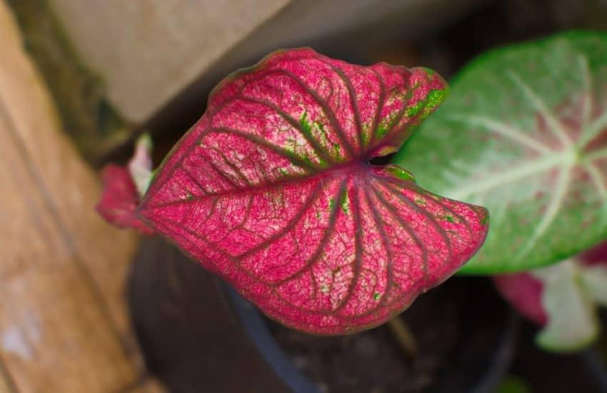 How do you take care of potted Caladium Plants