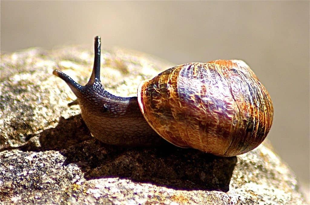 How long do garden snails live