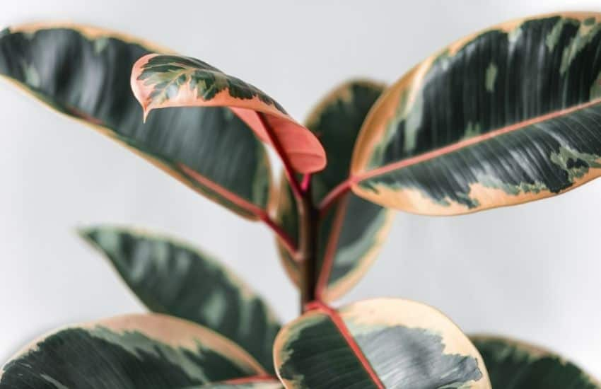 How to Revive a Dying Rubber Plant