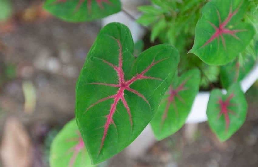 How to plant Caladium plants